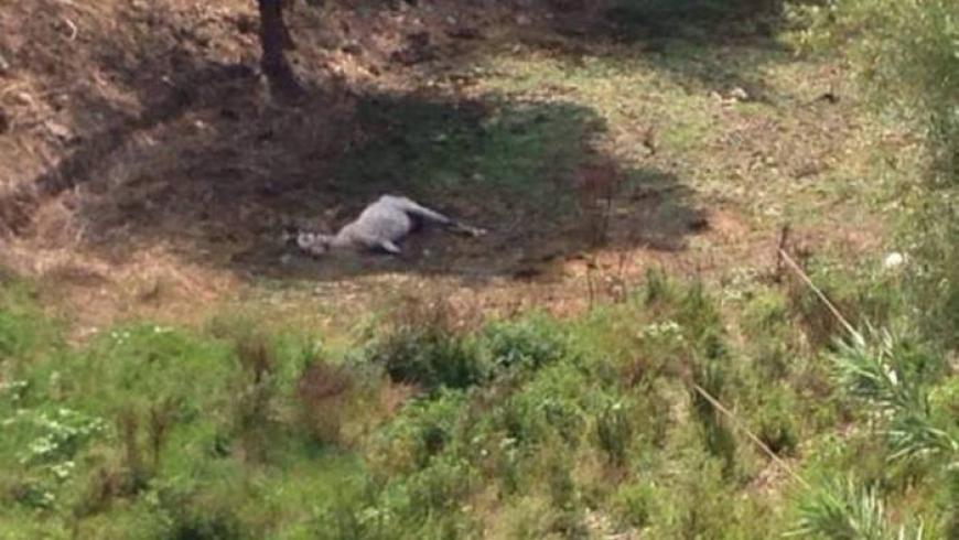 Agropoli, cavallo morto di fame e di sete legato ad un albero